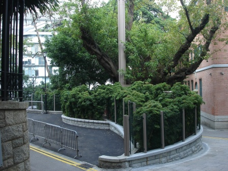 Hysteric management of a banyan tree